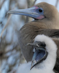 Red-footed Booby (brown morph), with young