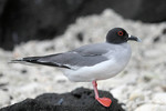 Swallow-tailed Gull, Tower
