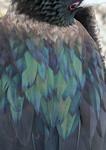 Great Frigatebird, Tower