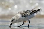 Sanderling, Sandy Hook