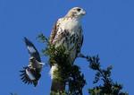 Northern Mockingbird, Red-tailed Hawk
