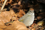 Green-tailed Towhee, Collingswood NJ 1/3/2009