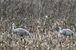 Sandhill Cranes, Franklin Twp NJ 1/10/2009