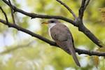 Yellow-billed Cuckoo, Garret 05/02/2009