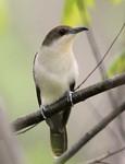 Black-billed Cuckoo, Garret 05/03/2009