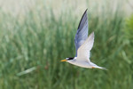 Least Tern, Cape May 7/3/2009