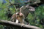 Cooper's Hawk, 7/5/2009
