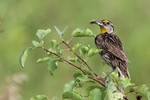 Eastern Meadowlark 2013-07-20 127