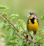 Eastern Meadowlark 2013-07-20 570
