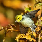 Black-throated Green Warbler, State Line Lookout 2013-10-20 161