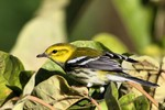 Black-throated Green Warbler, State Line Lookout 2013-10-20 194