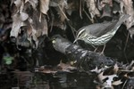 Northern Waterthrush 2014-05-03 75