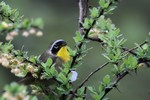 Common Yellowthroat, Garret 2014-05-10 593