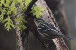 Black and white Warbler, Garret 2014-05-10 721