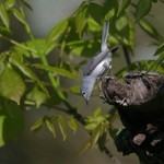 Blue-gray Gnatcatcher, Garret 2014-05-17 58