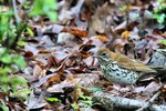 Wood Thrush, Garret 2014-05-24 76