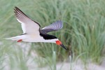 Black Skimmer, Nickerson Beach NY 2014-07-20 655