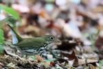 Ovenbird, Garret Mtn 2015-05-18 280