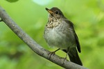 Gray-cheeked Thrush, Garret Mtn 2015-05-24 680