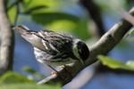 Blackpoll Warbler, Garret Mtn 2015-05-24 749