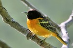 Baltimore Oriole, Garret Mtn 2015-05-24 821