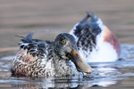 Northern Shoveler, Celery Farm 2015-12-12 255