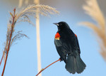 Red-winged Blackbird, Celery Farm 2016-04-17 514