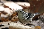 Black-and-white Warbler, Garret Mtn 2016-05-14 1171