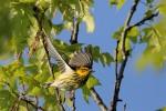 Cape May Warbler, Garret Mtn 2016-05-14 308