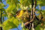 Cape May Warbler, Garret Mtn 2016-05-14 393