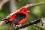 Scarlet Tanager, Garret Mtn 2016-05-14 555