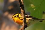 Blackburnian Warbler, Garret Mtn 2016-05-14 97