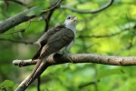 Yellow-billed Cuckoo, Doodletown NY 2016-05-29 12