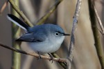 Blue-gray Gnatcatcher, Celery Farm