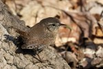 Winter Wren, Garret Mtn 2017-04-11 75