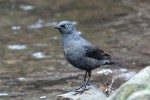 Rusty Blackbird, Garret Mtn 2017-04-12 39
