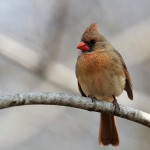 Northern Cardinal (female), Garret Mtn 2017-04-15 320