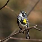 Myrtle  Warbler, Garret Mtn 2017-04-15 93