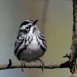 Black and White Warbler, Celery Farm 2017-04-18 76