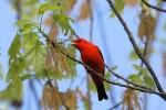 Scarlet Tanager, Garret Mountain 2017-05-02 148
