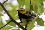 Black-throated Green Warbler, Garret Mountain 2017-05-03 219