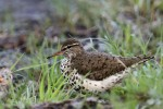 Spotted Sandpiper, Garret Mountain 2017-05-09 78
