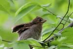 Northern Cardinal fledgling, Garret Mountain 2017-05-11 171