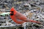 Northern Cardinal, Garret Mountain 2017-05-11 206