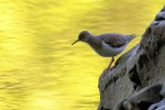 Spotted Sandpiper, Garret Mountain, 2017-05-14 9