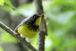 Canada Warbler, Garret Mountain, 2017-05-15 277