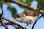 Yellow-billed Cuckoo, Garret Mountain 2017-05-17 187