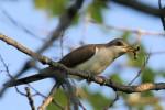 Yellow-billed Cuckoo, Garret Mountain 2017-05-17 213