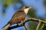 Yellow-billed Cuckoo, Garret Mountain 2017-05-17 268
