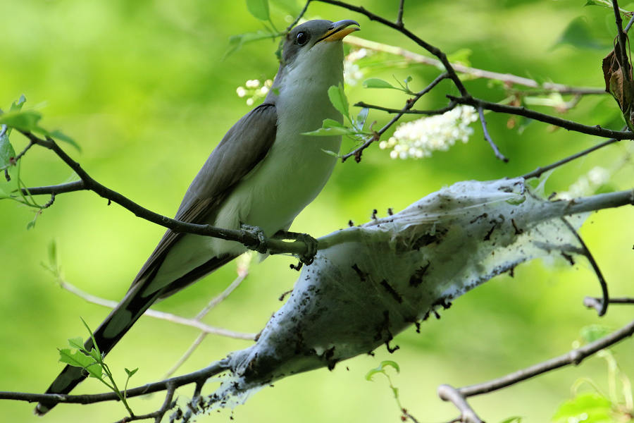 Yellow-billed Cuckoo, Sterling Forest 2017-05-19 395
